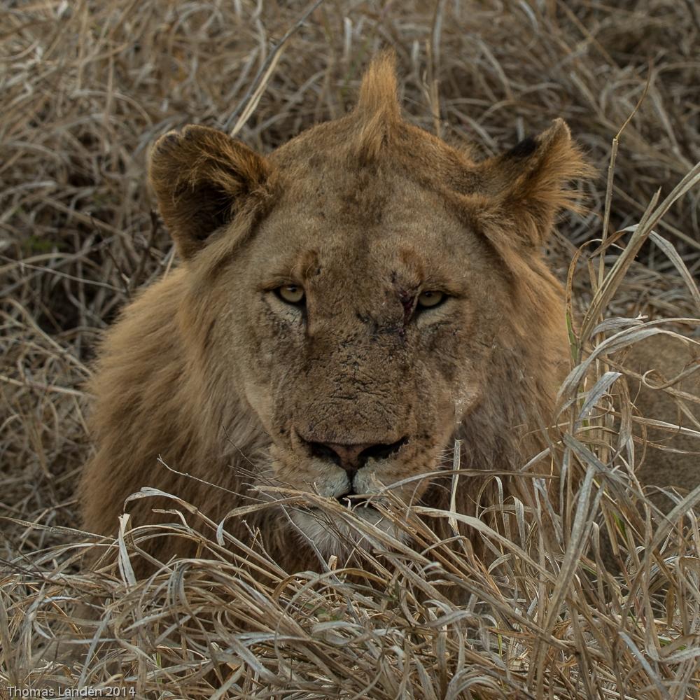 Lejon från Krugerparken